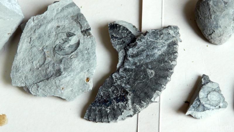 Парчета и отпечатъци от амонити