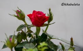 red rose for my love
