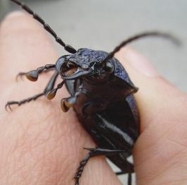 big blue beetle