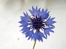 blue cornflower-Centaurea cyanus