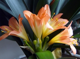 Clivia in flower