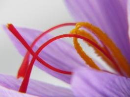 Crocus sativus-safran
