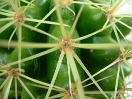 Еchinocactus