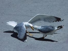 gulls fight