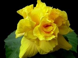 Koenig - yellow double hibiscus
