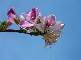 orchid tree - Bauhinia