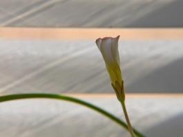 Oxalis versicolor