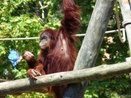 орангутан - Pongo pygmaeus