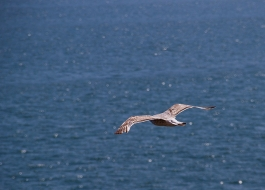 sea-gull over sea