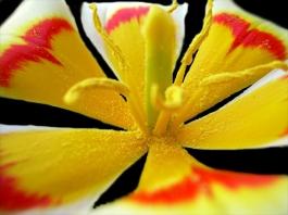 Tulipa botanical Ancilla