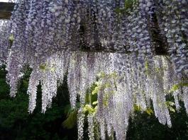 wisteria lila