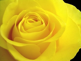 yellow rose for my mom