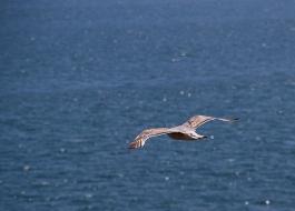 sea-gull over sea